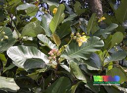 Image of shrubby dillenia