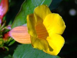 Image of bush allamanda