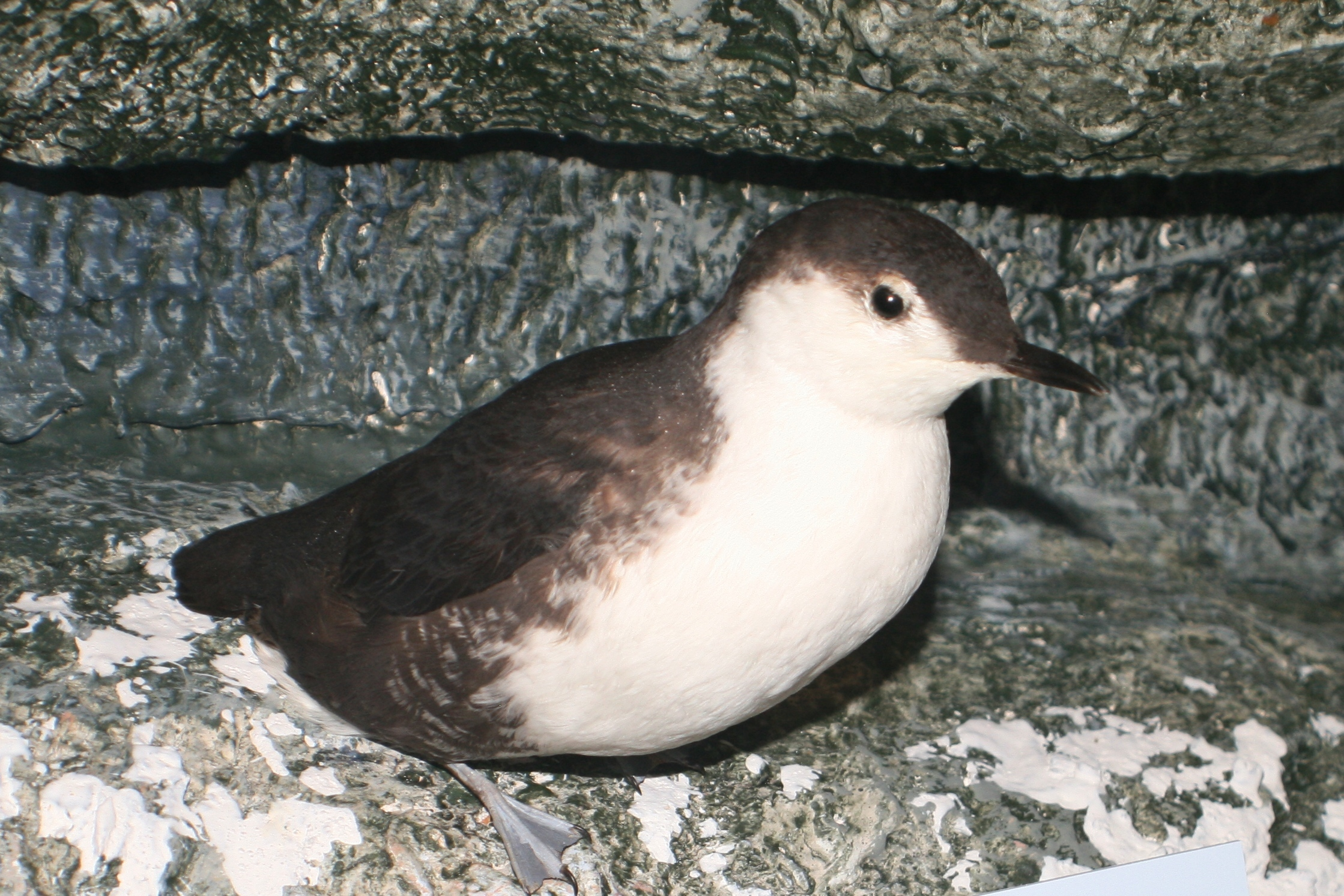 Image of Guadalupe Murrelet
