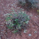 Image of crispleaf buckwheat
