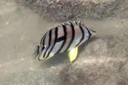 Image of Eight Banded Butterflyfish