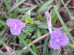 Image of Nakedstem dewflower