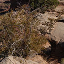 Image of Utah serviceberry