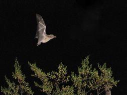 Image of Hog-nosed Bat
