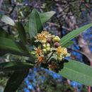 Image of California laurel