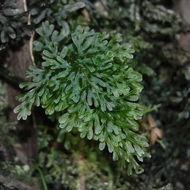 Image of <i>Hymenophyllum rarum</i>