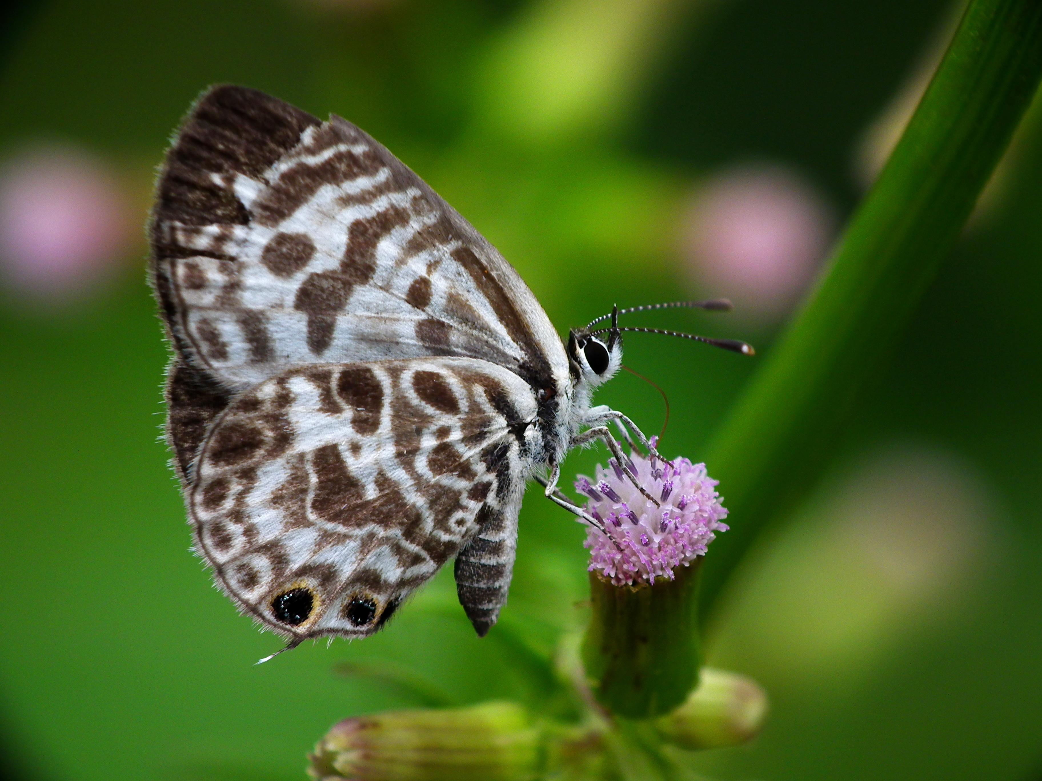 Image of Plumbago Blue