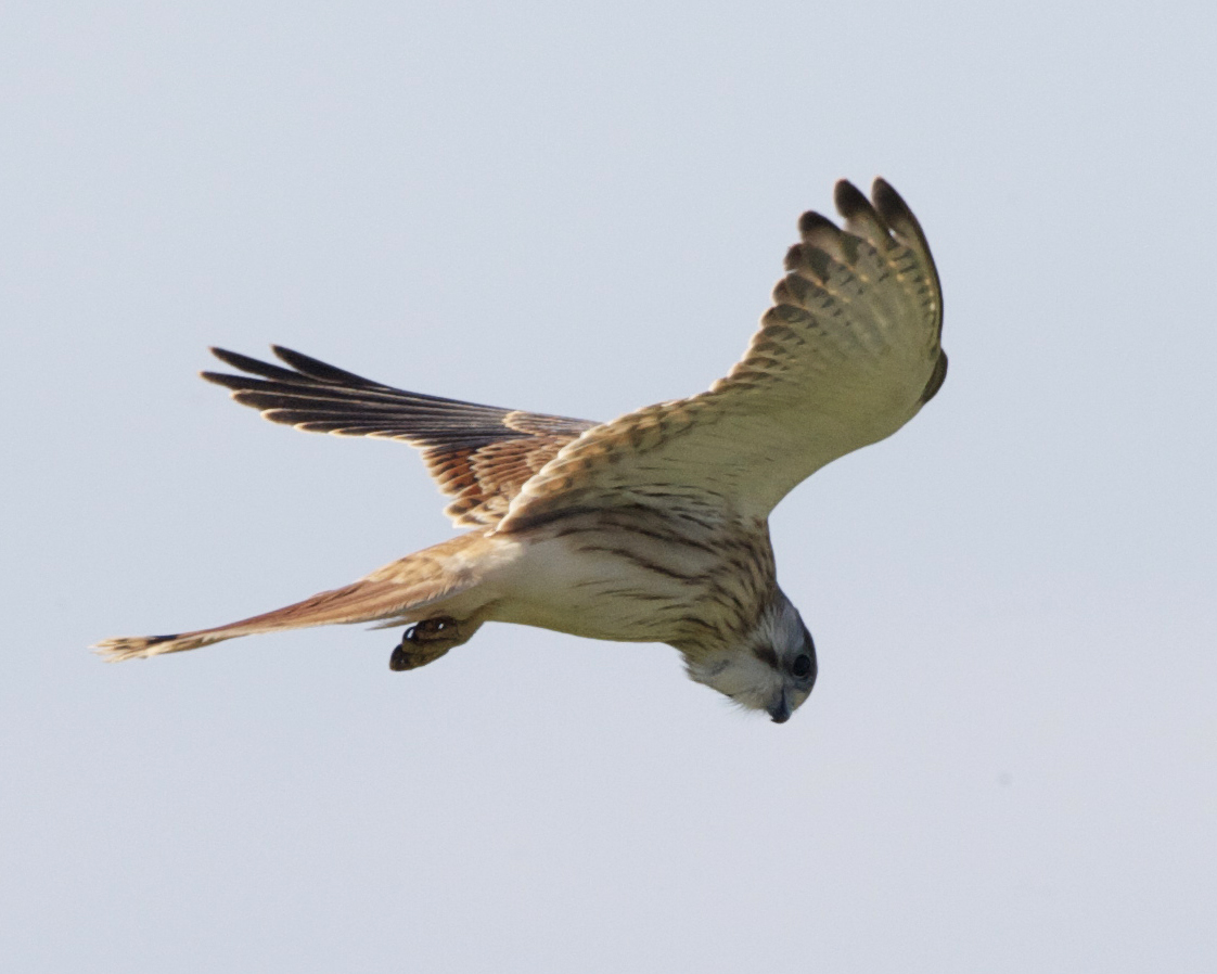 Image of Australian Kestrel