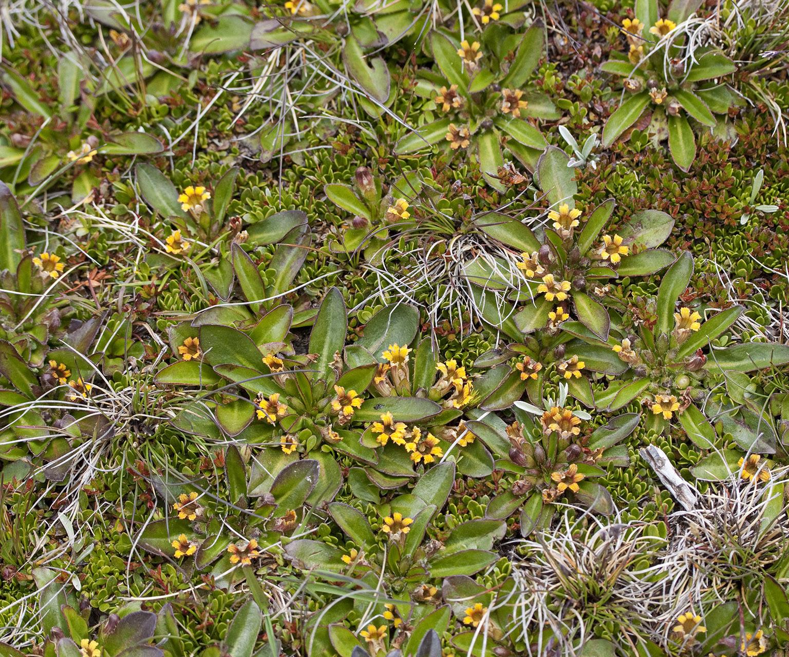 Image of <i>Velleia montana</i> Hook. fil.