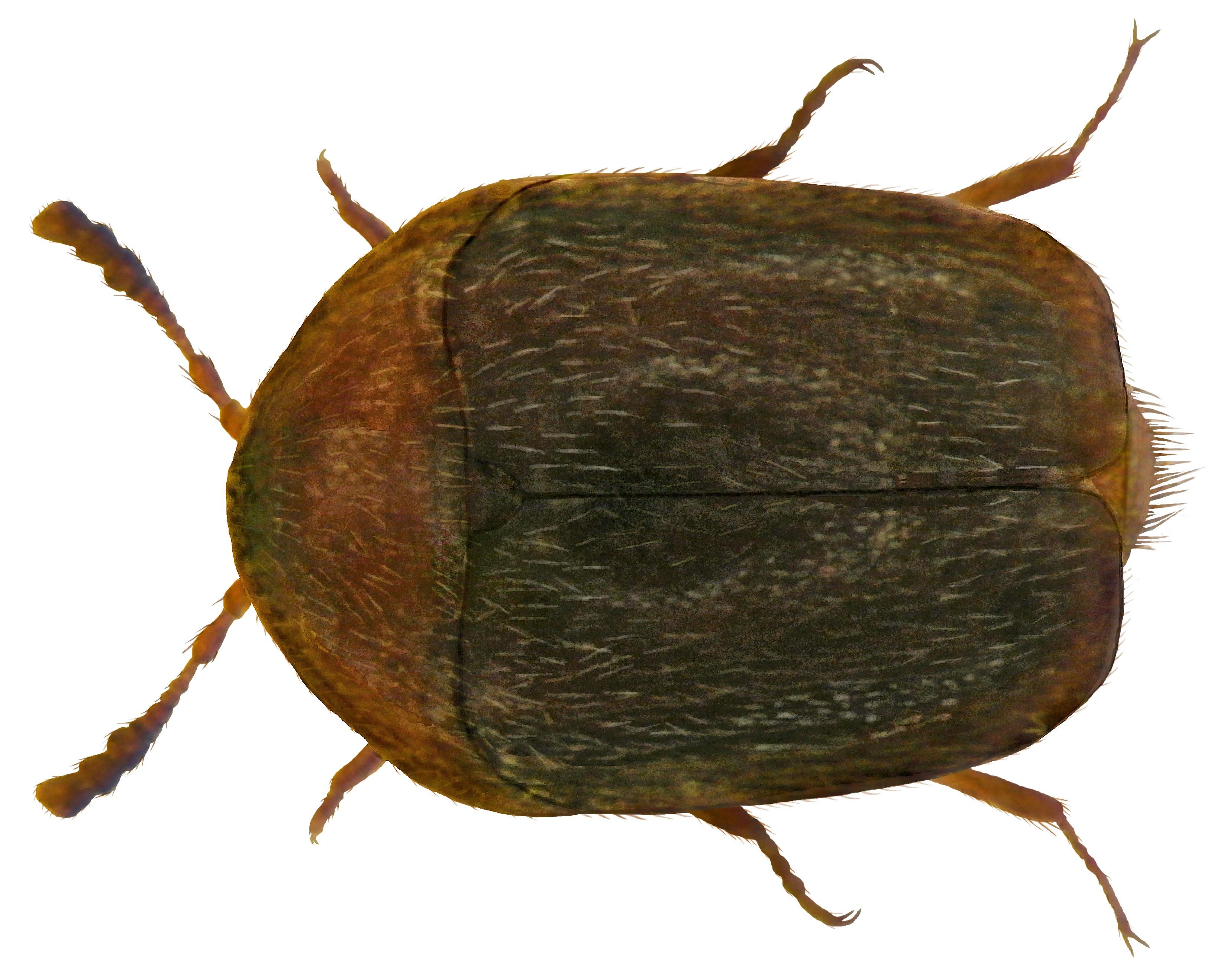 Image of <i>Sericoderus lateralis</i> (Gyllenhal 1827)