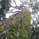 صورة Afrocarpus