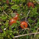 Image of <i>Coprosma niphophila</i> Orchard