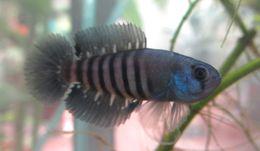 Image of Killifish