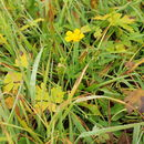 Image of Greenland buttercup