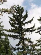 Image of <i>Picea martinezii</i>