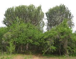Image of Common Cadelabra tree