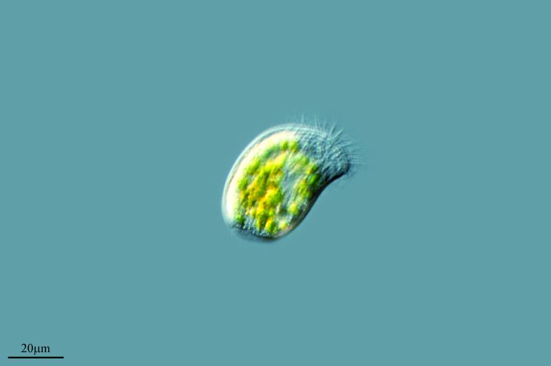 Image of <i>Trithigmostoma algivora</i>