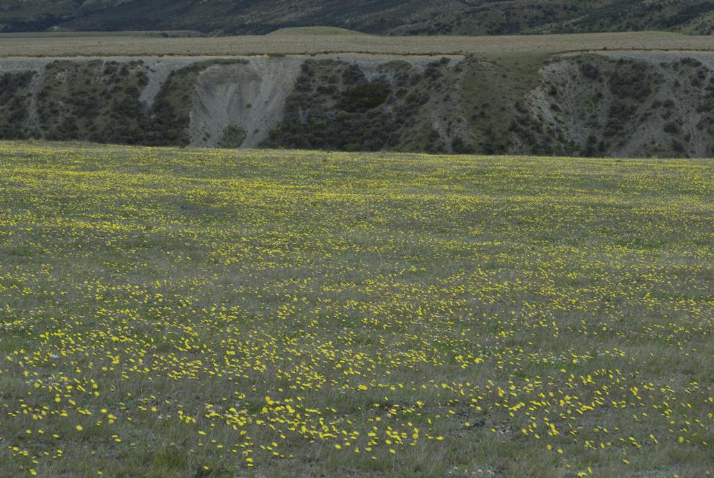 Image of <i>Hieracium pilosella</i>
