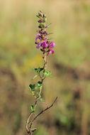 Image of <i>Teucrium <i>chamaedrys</i></i> ssp. chamaedrys