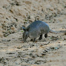Image of Nine-banded Armadillo