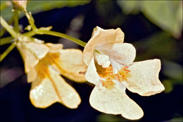 Image of small balsam