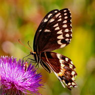 Image of Palamedes Swallowtail