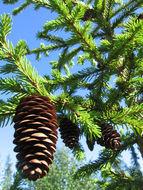 Image of <i>Picea fennica</i>