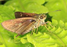 Image of <i>Parnara guttata</i>