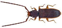 Image of <i>Uleiota planata</i> (Linnaeus 1761) Linnaeus 1761