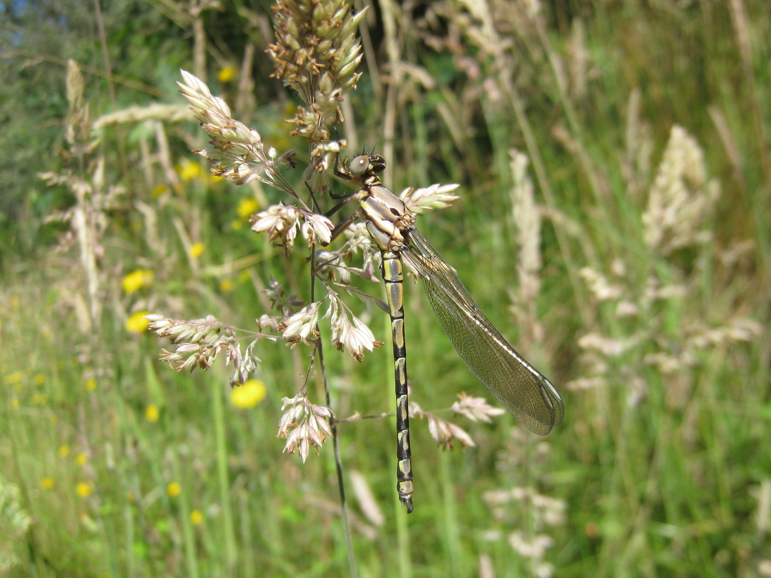Image of <i>Diphlebia nymphoides</i> Tillyard 1912