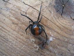 Image of Redback spider
