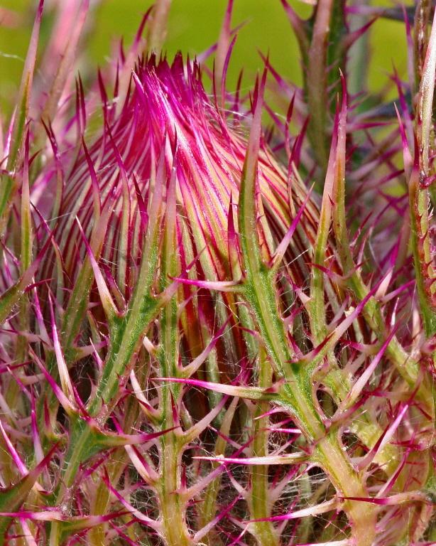 Image of <i>Cirsium horridulum</i> Michx.