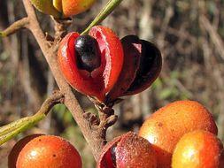 Image of <i>Xylopia sericea</i> A. St.-Hil.