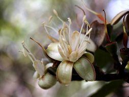 Image of <i>Hymenaea stigonocarpa</i> Hayne