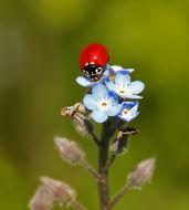 Image of Western Blood-Red Lady Beetle