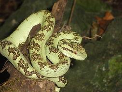 Image of Malabar Pit Viper