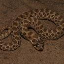 Image of Mexican hog-nose snake
