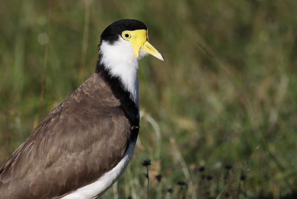 Image of Masked Lapwing