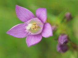 Image of <i>Gentianella austriaca</i> (A. & J. Kern.) Holub