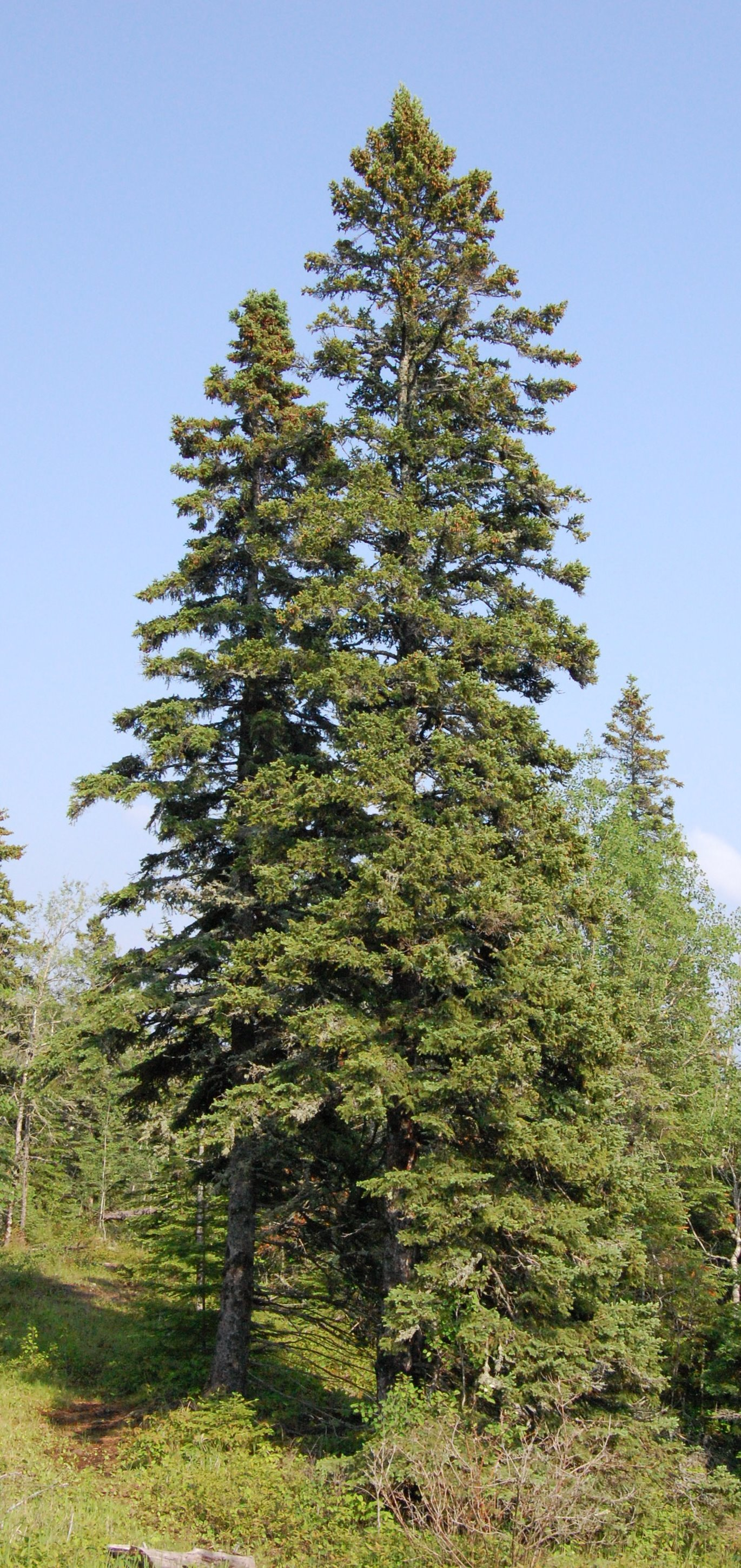 Image of Canadian Spruce