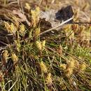 Image of <i>Carex humilis</i> Leyss.