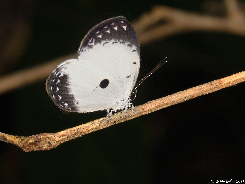 Image of <i>Pithecops dionisiu</i>