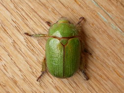 Image of Granny Smith Beetle