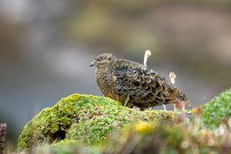Image of Rufous-bellied Seedsnipe