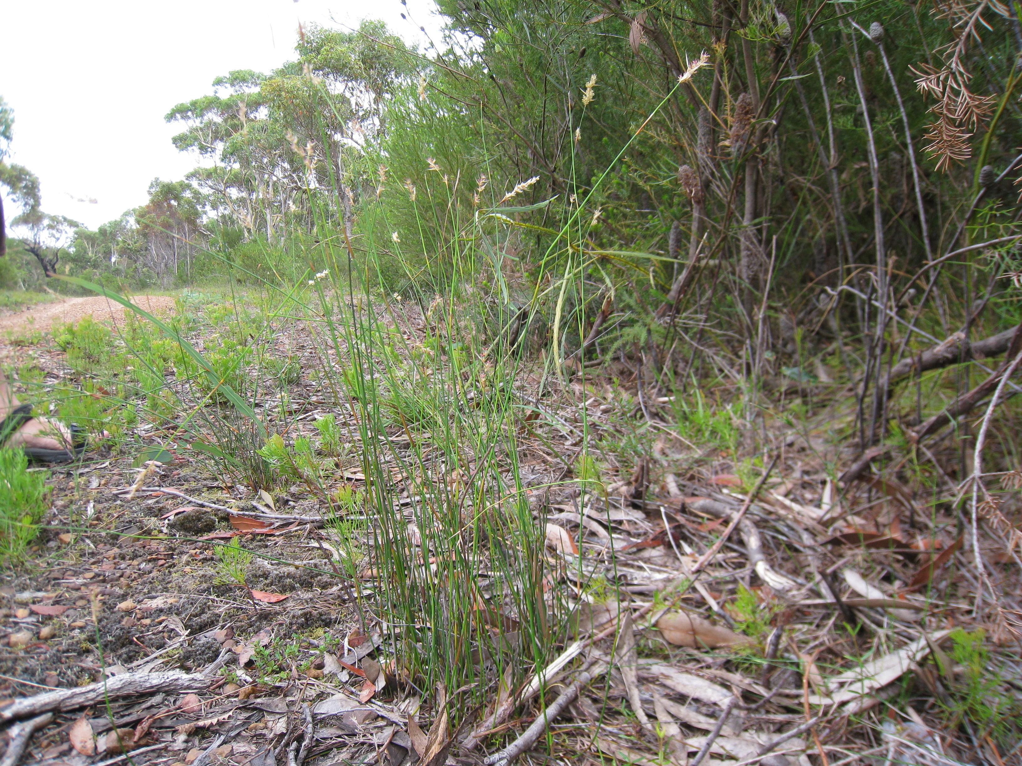 Image of <i>Lepyrodia scariosa</i> R. Br.