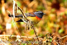 Image of Collared Bush Robin