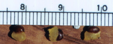 Image of Pacific trillium