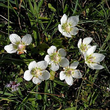 Image of <i>Parnassia palustris</i> L.
