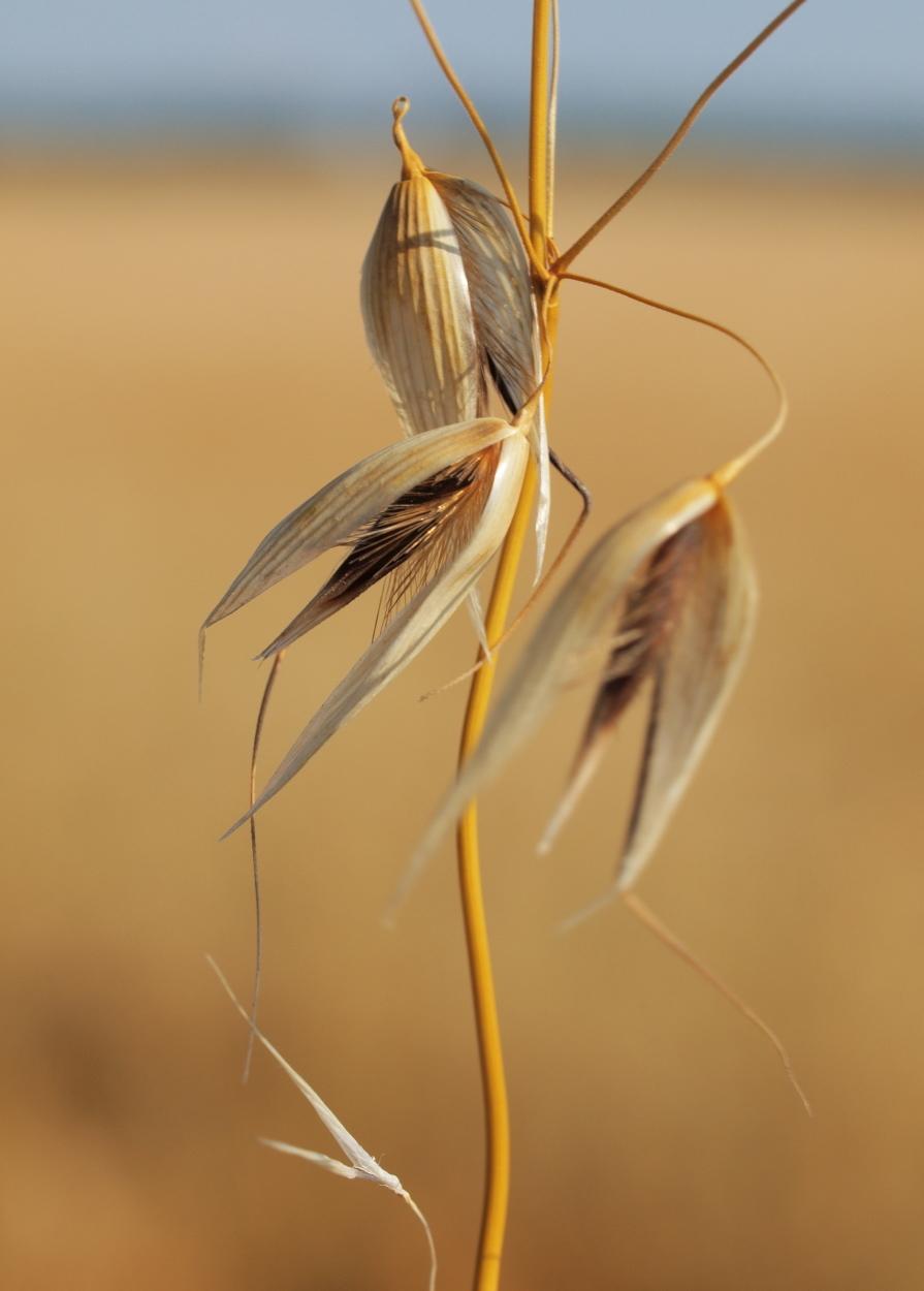 Image of wild oat