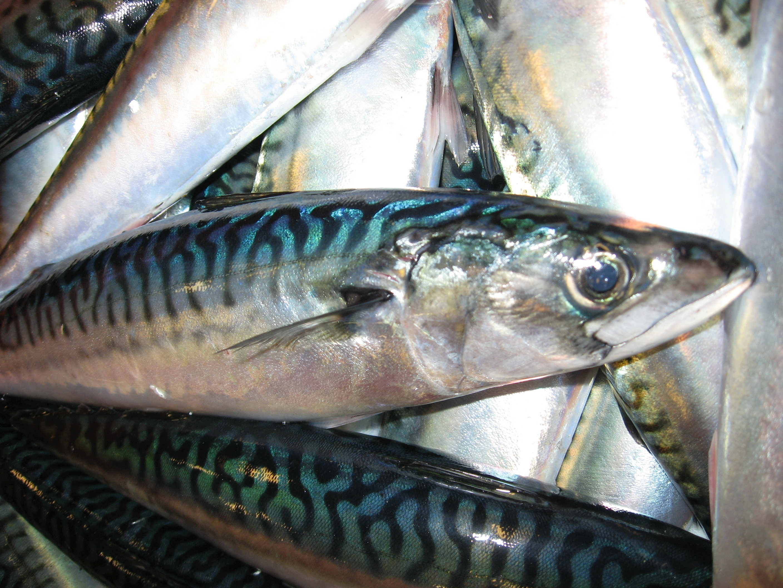 Image of Mackerel